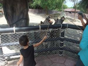 Impatient zebras in Songkla